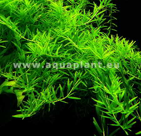 ROTALA SP. GREEN 2
