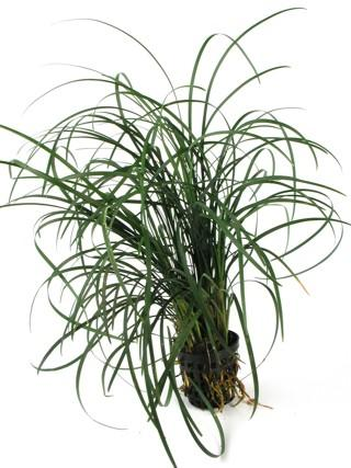 OPHIOPOGON JAPONICA