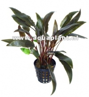 CRYPTOCORYNE SP RED